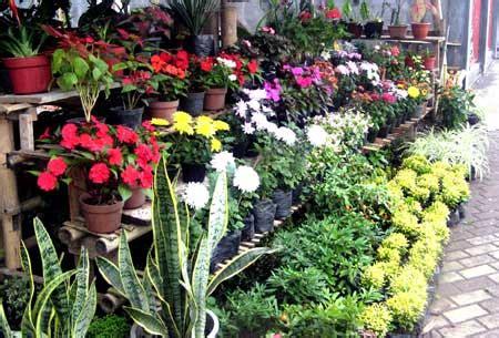 mudah budidaya tanaman hias daftar tanaman hias