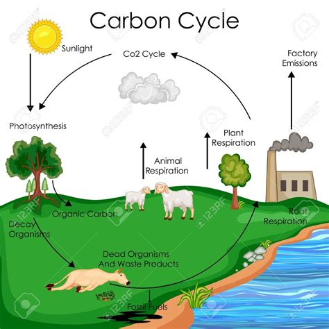 Carbon Cycle Diagram Biology World Of Diagrams