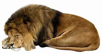 Lion Sleeping Animals Cut Transparent Background Wild
