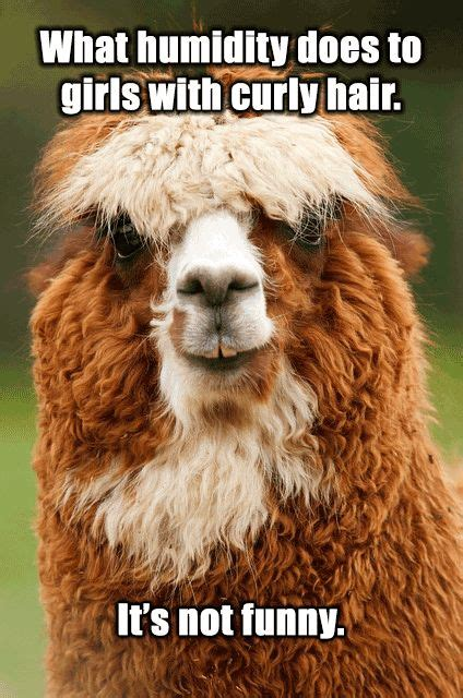 Alpaca Sheep Meme - humidity meme google search hair pinterest meme