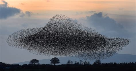 starling murmurations in pictures environment the