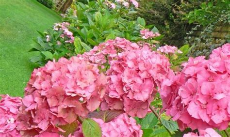 large summer flowers large pink summer flowers photos jpg