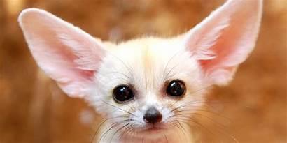 Adorable Animals Fox Fennec Worlds Them