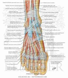 Muscles  Arteries  And Nerves Of Front Of Ankle And Dorsum