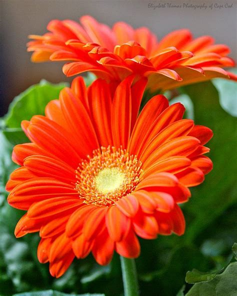 orange gerber daisies fine art photograph flower