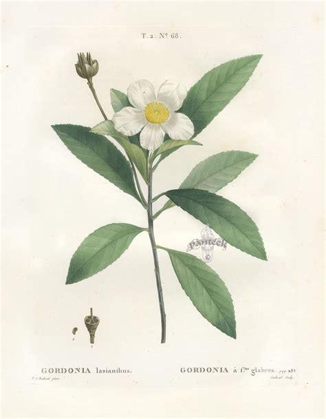 how to make botanical prints antique botanical drawings