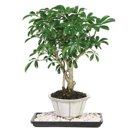 indoor trees brussel s bonsai dwarf hawaiian umbrella tree indoor dt 6019arb the home depot