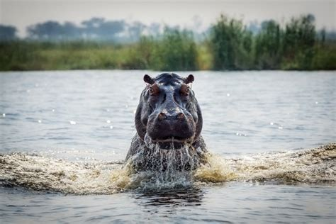 Hippo Chases Boat Underwater by 2014 National Geographic Photo Contest Week 9 Part 3 4