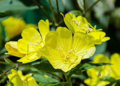 evening primrose plant free photo primrose evening primrose plant free image on pixabay 603478