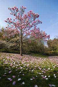 Kleine Bäume Bis 3m : magnolia tree types learn about common varieties of ~ Articles-book.com Haus und Dekorationen