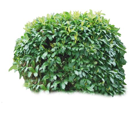 shrub image hedges clipart tree bush pencil and in color hedges clipart tree bush