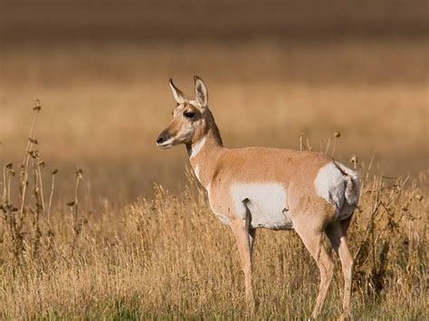 Afrikan Antilope a list of african antelope species with