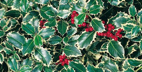 arbusti da fiore sempreverdi tutto sugli alberi ornamentali sempreverdi