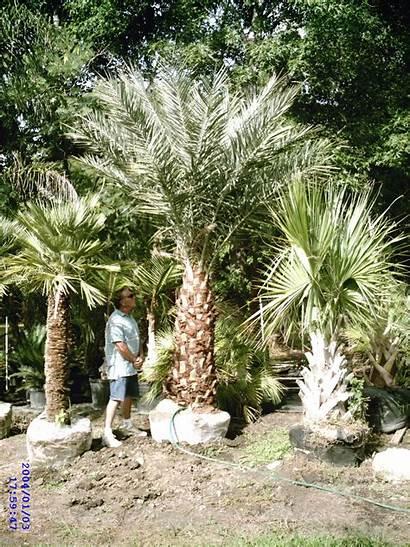 Palm Tree Water Freeze Fertilizer Damage Temperature