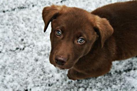 green eyed chocolate lab puppy cuteness pinterest