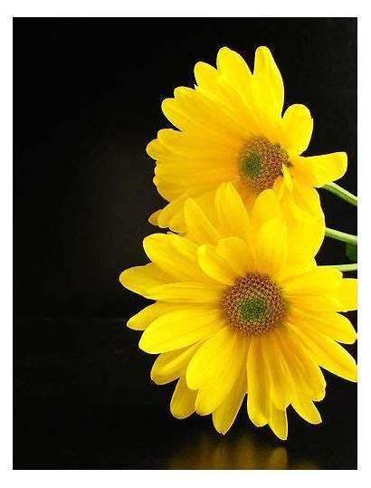 Yellow Adey Abeba Daisies Flowers Daisy Amazing