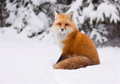 Fox Winter Snow Landscape Foxes Animals Desktop