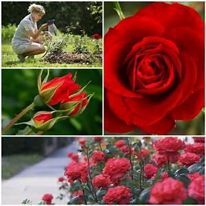 Rosen Schneiden Zeitpunkt : rote rosen als aromatische und bezaubernde gartenpflanzen pflegen ~ Frokenaadalensverden.com Haus und Dekorationen