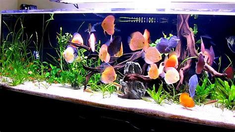 discus fish tank setup discus fish types