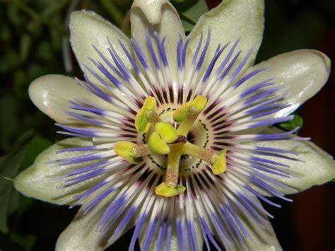 Prima floare de Pasiflora