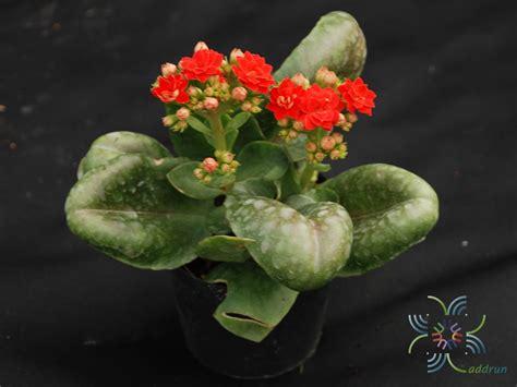 กุหลาบหินแดง Kalanchoe blossfeldiana Poelln. - ข้อมูลพันธุ์ไม้