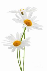 Daisies On White Background Photograph by Elena Elisseeva