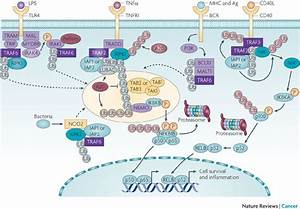 A20  From Ubiquitin Editing To Tumour Suppression