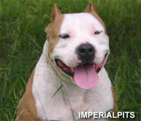 cute dogs american pitbull terrier