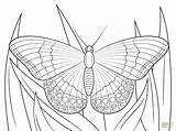 Butterfly Admiral Kupu Gambar Coloring Mewarnai Amiral Printable Branca Belajarmewarnai Colorir Monarch Blanc Almirante Desenhos Realistic Colorare Farfalle Printables Farfalla sketch template