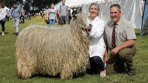American Sheep Breeders Could Import Lincoln Longwool