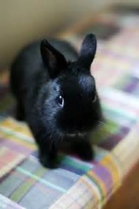 Cute Black Baby Bunnies