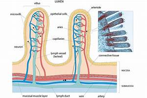 Week 3  Tissue Structure And Function  Figure 3 Schematic Diagram Of Villi In The Small