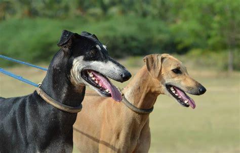 exotic indian dog breeds  dogs  india