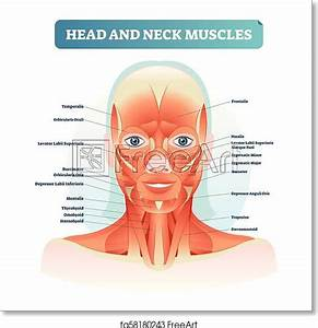Free Art Print Of Head And Neck Muscles Labeled Anatomical