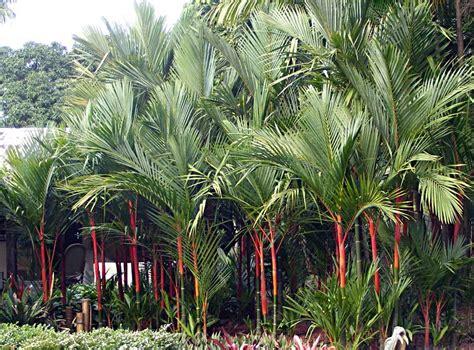 Palmeira-laca (Cyrtostachys renda) - PlantaSonya - O seu ...