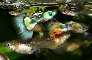 peluangwirausahakecil budidaya ikan hias air tawar jenis