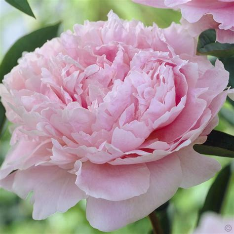 pivoine lactiflora bernhardt 1 plante achetez en ligne sur commander vite