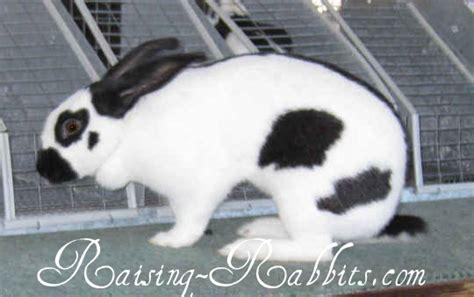 rabbit breed descriptions  rabbit breeds listed