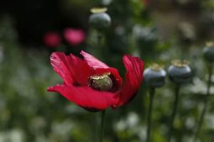 Mexican opium farmers expand plots to supply US heroin ...
