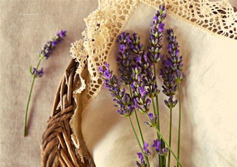 fiore di lavanda come e quando essiccare la lavanda la figurina