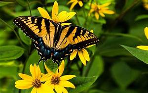 Swallowtail Butterflies Are Large Colorful Butterflies In ...