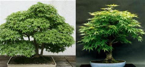 how to grow your own marijuana bonsai tree
