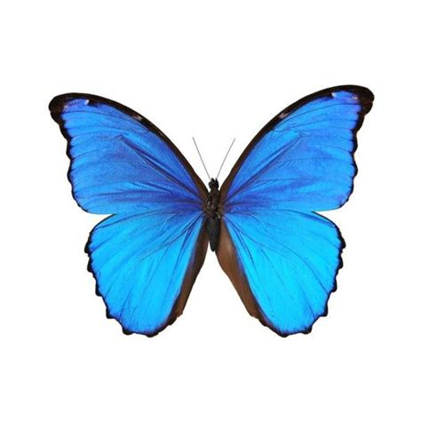 stickers muraux papillons noir 17 best images about morpho bleu on the magic tatuajes and most popular tattoos