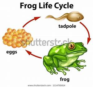 Frog Life Cycle On White Background Stock Vector  Royalty