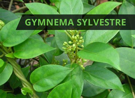 gymnema sylvestre     blood sugar