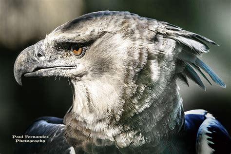 harpy eagle flickr florida facing zoo miami light trending commons explore galleries