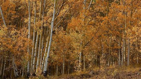 aspen tree wallpapers hd pixelstalknet