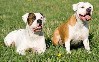 how much do american bulldogs shed american bulldogs what s about em what s bad about em