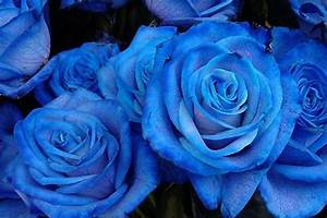 Beautiful Blue Roses | Fresh Flowers From Holland
