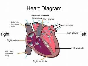 Heart And Lungs Diagram Labeled